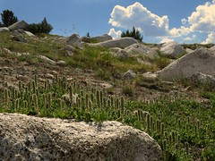 Salix arctica, ARCTIC WILLOW (openspacer) Tags: inyonationalforest johnmuirwilderness salicaceae salix willow