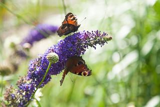 Double butterfly - Syringa vulgaris