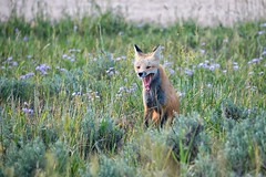 Resident Fox (dbushue) Tags: rockymountainnationalpark rockymountains colorado nationalpark mountains lakes trails hiking reflections nature vacation 2016