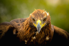 Kyrgysztan-5454 (EbE_inspiration) Tags: kyrgyzstan eagle bird outside world nikon fly travel