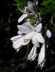 Blte einer Funkie (Hosta); Mildstedt, Nordfriesland (35a) (Chironius) Tags: husum schleswigholstein nordfriesland deutschland germany allemagne alemania germania    ogie pomie szlezwigholsztyn niemcy pomienie blte blossom flower fleur flor fiore blten    weis asparagales asparagaceae spargelgewchse agavoideae agavengewchse