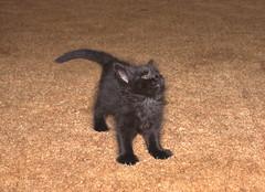 Looking Up (dblees) Tags: cat gato chat kitty  koka kat kissa katze gatto kot pisic maka katt  kedi con mo       gata