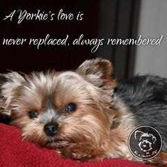 Yorkie love is special. (itsayorkielife) Tags: yorkiememe yorkie yorkshireterrier quote