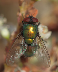 RG_323 ( Ed Lee) Tags: nikon 7100 sigma 105mm richmond green morning park outdoor color bright contrast macro closeup insect fly reflection wing compound eye depthoffield bokeh hair