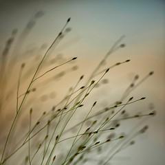 untitled . (helmet13) Tags: d800e raw flora plant selectivefocus bokeh macro silence aoi heartaward peaceaward world100f 200faves simplicity
