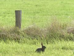 HFF (BrigitteE1) Tags: hff hase hare fence meadow landscape field gras animal tier feld naturschutzgebiet naturereserve landschaft wild natura deutschland naturaleza natur nature green summer