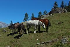 chevaux (bulbocode909) Tags: valais suisse vallonderchy lal chevaux nature montagnes rochers arbres vert bleu vercorin