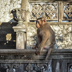Scimmia guardiana thumbnail