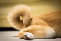 Yotsuba365 Day87 (Tetsuo41) Tags: dog shibainu yotsuba