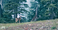 I see you (awdftw!) Tags: deer telephoto landscape trees foggy morning wild wilderness animals