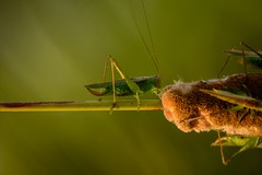 Stalking (so to speak) (brev99) Tags: d7100 tamron70300vc nature grasshopper cattail nikviveza nikdfine nikoutputsharpener highqualityanimals ngc