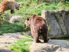 IMG_5255 (jaglazier) Tags: 2016 91416 animals bears bielefeld bielefeldzoo copyright2016jamesaglazier germany mammals september teutoburg teutoburgforest teutoburgerwald zoos parks nordrheinwestfalen