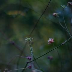 """WILDFLOWER"" ( ) Tags: kern makroswitar 50mmf19 park wildflower bokeh nex7 trimming masterphotos"