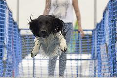 """I Believe I Can Fly .."" ( Freddie) Tags: kent detling kentcountyshowground pawsinthepark dashnsplash spaniel dog springerspaniel"