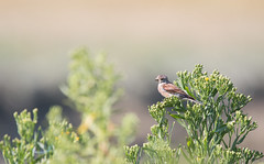 Linotte mlodieuse (loudz57220) Tags: 150600 70d commonlinnet linariacannabina linottemlodieuse animals bird canon nature oiseau tamron wildlife
