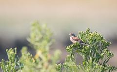 Linotte mélodieuse (loudz57220) Tags: 150600 70d commonlinnet linariacannabina linottemélodieuse animals bird canon nature oiseau tamron wildlife
