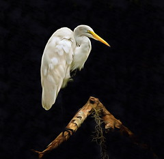 Whitey - Hontoon Island (QuakerVille) Tags: jonmarkdavey greatwhiteheron heron hontoonisland stjohnsriver riverwhitebird deltona fl usa