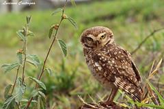 Fierce! (lucastagna) Tags: owl nature wild bird coruja natureza selvagem pssaro minas gerais brazil