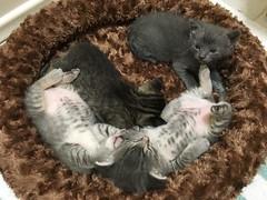 September Litter (DragonSquared Studio) Tags: livestream webcam live cam kittencam kitten kittens kitty cat cats rescue foster adopt adoptable adoption los angeles burbank glendale san fernando