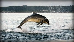 Dolphin in evening light (niknok2007...) Tags: sea wild summer reflection beach nature water scotland jump dolphin free inverness rosemarkie blackisle bottlenose breach bottlenosedolphin fortrose wildbottlenosedolphin