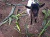Young Goat In A Cornfield (A Guy Taking Pictures) Tags: water 4