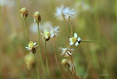herb (Agus Fadjar) Tags: white plant flower macro nature beautiful bokeh herb nationalgeographic kotawisata bokehlicious wonderfulworldofflowers