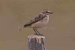 _MG_2947 (BIO_MA Roberto Perucci) Tags: italy birds wildlife natura uccelli montagna birdwatching marche sibillini parconazionale fotografiabird