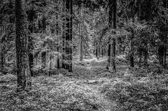 Silence // (Auensen::) Tags: trees white black tree nature forest blackwhite amazing woods nikon darkness path august norwegian silence excellent nikkor f28 2012 2470mm monochrone monotones excellente d7000 nikond7000 nikonnikkor2470mmf28