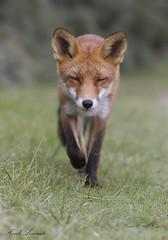 Red fox - Rode vos (www.henklecomte.com) Tags: mammals foxes duinen redfox vossen zoogdieren rodevos natuurnatureanimalsdierennetherlandsnederlandholland
