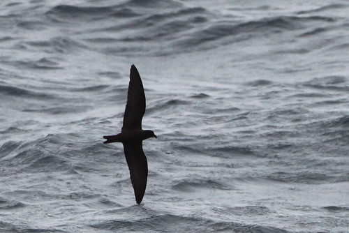 <p>This photo lets you see how unique the shape of the Black Storm-Petrel is with long inner wings, and oddly broad yet long wings. The body looks small for the size of the wings!</p>