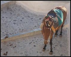 Cretan donkey (Cyberian8) Tags: mediterranean mediterraneo santorini greece grecia cyclades thira cicladas