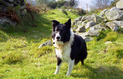 Indy's path. (Mike & Indy) Tags: mountain dogs wales landscape collie border indy pal snowdonia llanfairfechan
