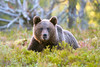 Young Bear (Palnick) Tags: little young giovane finland bear kumho orso piccolo finlandia animalkingdomelite naturesfinest highqualityanimals bears orsi forest foresta free freedom ursus arctos specanimal grizzly taiga brown nature wild background tree animal cub cute close wildlife mammal big predator nordic looking european environment portrait finnish fauna wow