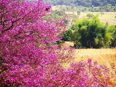 Painting for a Living (osvaldoeaf) Tags: pink flowers trees brazil house nature field yellow brasil painting landscape spring purple cerrado goinia gois wonderfulworldofflowers guao
