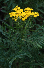 Rainfarn_DSC_8275 (schaefer_rudolf) Tags: pflanze gelb blte asteraceae rainfarn wildpflanze korbbltler tanacetum wurmkraut kompasspflanzen vulgare