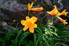 鳥海山 ニッコウキスゲ Daylily (punipuki) Tags: flower nature japan sigma akita 秋田 鳥海山 floralappreciation dp2s tyoukaizan