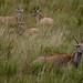 Elands, os maiores antilopes africanos