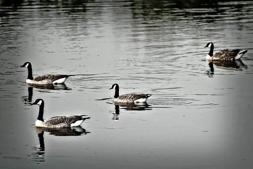 Ducks in Formation_Wildlife_2011