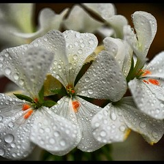 White Flowers With Water Droplets (Call Me Pat) Tags: flowers water droplets