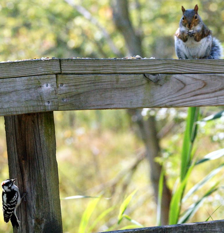 Downey woodpecker & squirrel