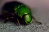 Drone beetle (Matsudo, Chiba, Japan) (t-mizo) Tags: macro japan canon bug insect chiba 日本 tamron lr マクロ lightroom tamron90mm matsudo 虫 昆虫 千葉 松戸 コガネムシ カナブン tamron90 scarabaeidae dronebeetle tamron90mmf28macro tamron90mmf28 tamron90mmmacro tamron90mm28 tamronsp90 tamronspaf90mmf28dimacro11 tamronspaf90mmf28 lr4 tamronspaf90mmf28dimacro tamronspaf90mmdimacro rhomborrhinajaponica pseudotorynorrhinajaponica eos60d lightroom4 金蚊