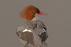 Cover Girl (cetch1) Tags: nature wildlife mergusmerganser merganser sawbill mfcc divingduck specanimal grandharle wildlifeaction northerncaliforniawildlife hennysanimals
