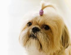 Top Model (Francisco Javier Periñán Delgado) Tags: dog pet look eyes nikon cola tail shihtzu perro ojos lucky nikkor mirada mascota coleta 55200 hocico d5100 highqualityanimals