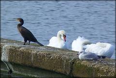 Cormorant - 52/2012 Week 38 (pixmad) Tags: september panasonic cormorant southport 2012 marinelake cormorantcarbo giveusyourbestshot lumixfz45 522012week38