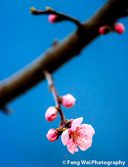 First Sign of Spring (Feng Wei Photography) Tags: china travel pink wild flower color macro tree nature floral beautiful beauty vertical closeup spring colorful asia branch blossom outdoor bloom tibetan sichuan blooming danba garze jiaju peachflower jiajutibetanvillage