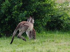 0777 Tidbinbilla - Canberra, ACT (Traveling Man – Traveling, back soon) Tags: canoneos50d canonef100400mmf4556lisusm australia commonwealthofaustralia coa australiancontinent terraaustralis southernland indoaustralianplate tidbinbillanaturereserve namadgi national park canberra australiancapitalterritory act tidbinbilla easterngreykangaroo macropusgiganteus giganticlargefoot marsupial greatgreykangaroo foresterkangaroo joey mammal wildlife nature gibraltarrange aboriginal jedbinbilla fauna reserve bushwalks bushwalking australiannationalheritagelist outdoor animal grassland grass native australianalps markaveritt