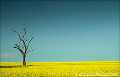 Boorowa (AnthonyGinmanPhotography) Tags: blue yellow deadtree canola countrynsw boorowa