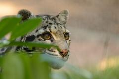 Clouded Leopard (Ami 211) Tags: bigcats cloudedleopard felidae neofelisnebulosa neofelis pantherinae specanimal