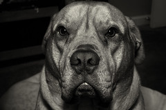 Food please (ziggy150) Tags: food rescue dog me mix expression mastiff some same feed stoic