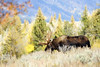 Looking for my honey moose (Deby Dixon) Tags: travel autumn fall tourism nature nikon wildlife moose bull adventure wyoming tetons deby allrightsreserved rut grandtetonnationalpark 2011 femalephotographer debydixon debydixonphotography